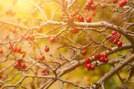 laevigata: Hawthorn red berries in nature, autumn seasonal vintage sunny background