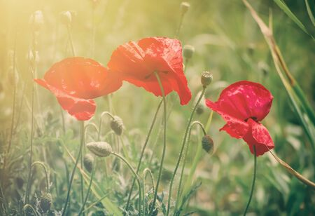 reconciliation: Red poppy flowers blooming in the green grass field, floral sunny natural spring  vintage hipster background, can be used as image for remembrance and reconciliation day Stock Photo
