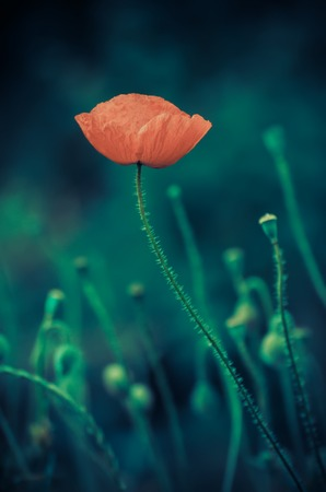 reconciliation: Red poppy flower blooming, floral dark gloomy natural spring  vintage hipster background, can be used as image for remembrance and reconciliation day