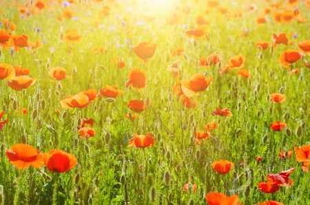 reconciliation: Red poppy flowers blooming in the green grass field, floral sunny natural spring background, can be used as image for remembrance and reconciliation day
