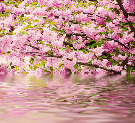 fleurs roses fraîches de sakura qui poussent dans le jardin, arrière-plan extérieur de source naturelle avec la réflexion de l'eau