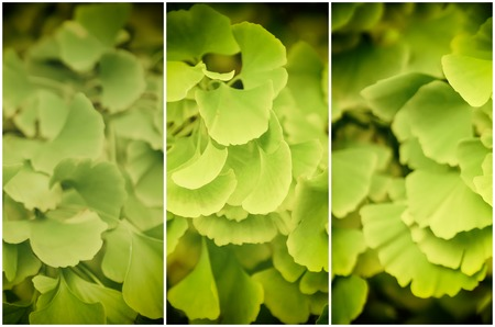 healing plant: Green and yellow fall leaves of Gingko Biloba - healing plant, nature background from three parts set