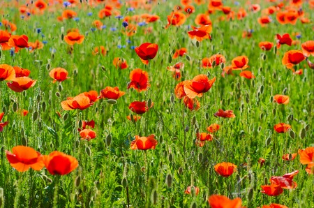 reconciliation: Red poppy flowers blooming in the green grass field, floral natural spring background, can be used as image for remembrance and reconciliation day Stock Photo