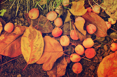 autumn food: Grunge textured flat natural seasonal autumn background with small fallen red apples and leaves