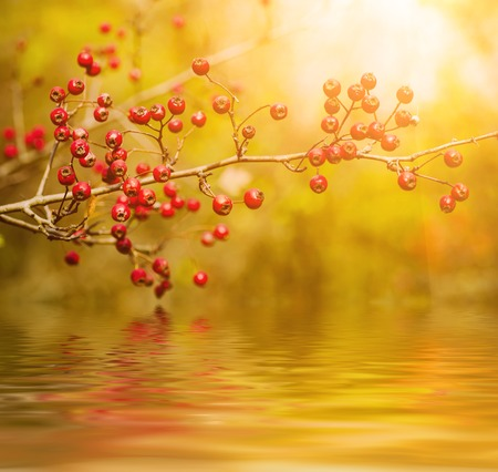 laevigata: Hawthorn red berries in nature, autumn seasonal vintage sunny background with water reflection