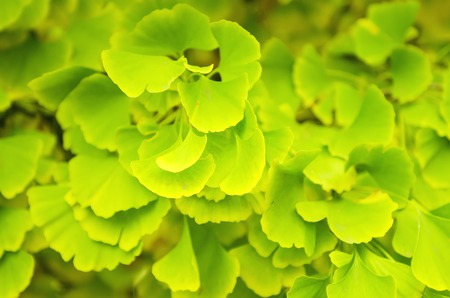 healing plant: Green and yellow fall leaves of Gingko Biloba - healing plant, nature sunny background