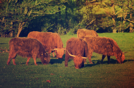 coo: Scotland highland hairy red cows grazing at the green summer meadow, agricultural livestock organic food concept Stock Photo