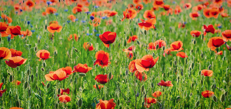 Red poppy flowers blooming in the green grass field, floral natural spring background, can be used as image for remembrance and reconciliation day Stock Photo
