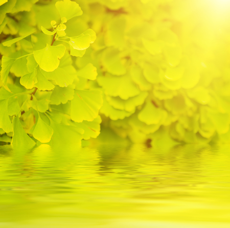 healing plant: Green and yellow fall leaves of Gingko Biloba - healing plant, nature sunny background with water reflection