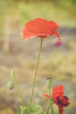 Red poppy flowers blooming in the green grass field, floral sunny natural spring  vintage hipster background, can be used as image for remembrance and reconciliation day Stock Photo