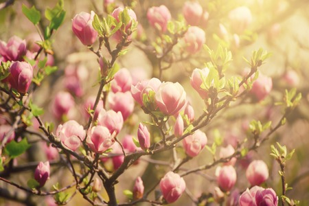 Blossoming of magnolia flowers in spring time, sunny vintage floral background Stock Photo