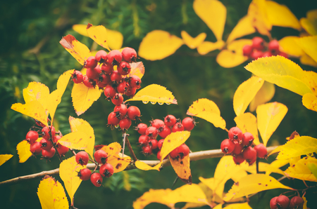 laevigata: Hawthorn red berries in nature, autumn seasonal vintage background