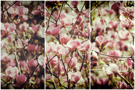 Blossoming of magnolia flowers in spring time, retro vintage hipster image Stock Photo