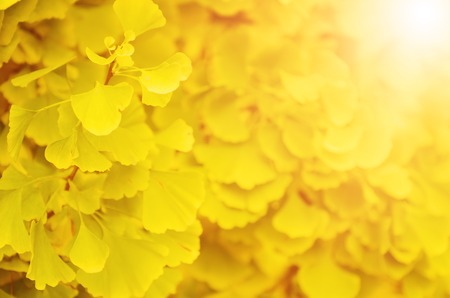 healing plant: Green and yellow fall leaves of Ginkgo Biloba - healing plant, nature autumn sunny background