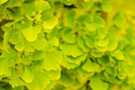 gingko: Green and yellow fall leaves of Gingko Biloba - healing plant, nature sunny background