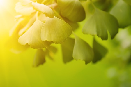 healing plant: Green leaves of Ginkgo Biloba - healing plant, nature sunny background Stock Photo