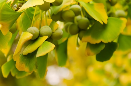 healing plant: Green and yellow fall leaves of Ginkgo Biloba with fruits - healing plant, nature background