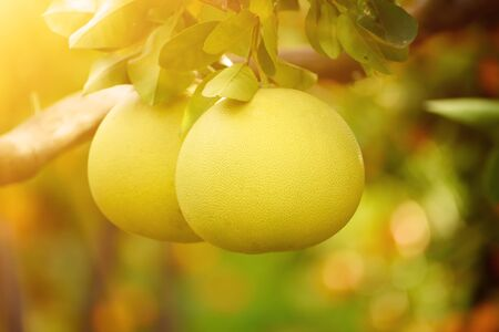 Ripe pomelo fruits hang on the trees in the citrus garden. Harvest of tropical pomelo in orchard. Pomelo is the traditional new year food in China, it gives luck. Agricultural food background Stock Photo