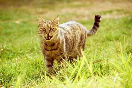 Funny tabby domestic cat walking on the green summer grass and meowing. He has bandit smile becouse of open mouth Stock Photo