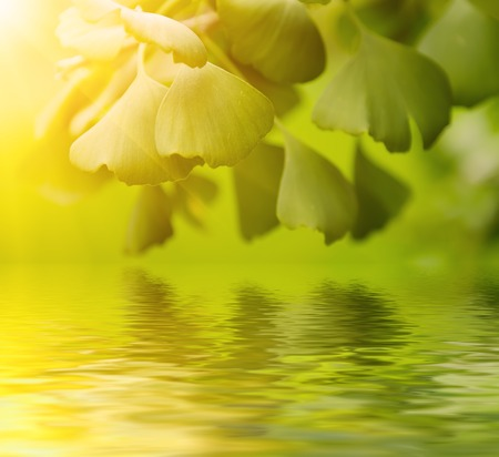 healing plant: Green leaves of Gingko Biloba - healing plant, nature sunny background with water reflection