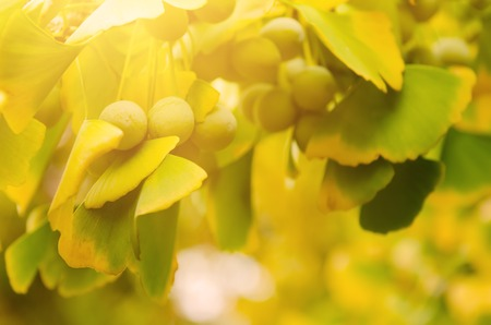 healing plant: Green and yellow fall leaves of Ginkgo Biloba with fruits - healing plant, nature sunny background