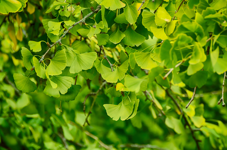 healing plant: Green and yellow fall leaves of Gingko Biloba - healing plant, nature vintage background Stock Photo