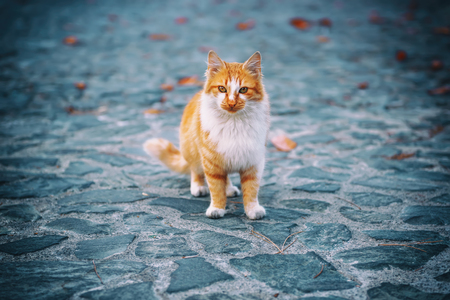 cute bi: Portrait of a red orange street cat with white spots standing and looking in old european city, animal natural background