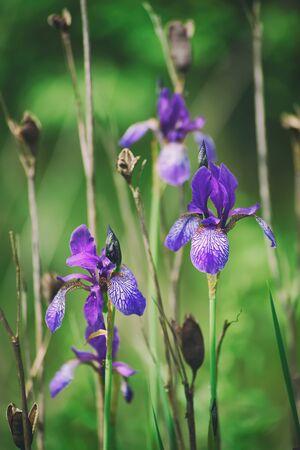 Iris flower in nature Stock Photo