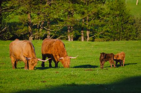Scotland highland cows Stock Photo