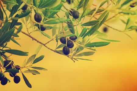 arboleda: Olivo con las frutas