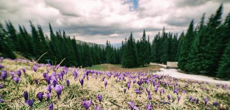 Landscape with crocuses Stock Photo