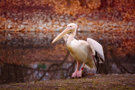 Pelican in the park Stock Photo