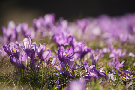 first day: Spring crocus flowers