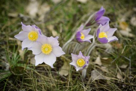 pasqueflower: Pasque-flower in nature