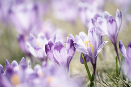 fiori di primavera croco