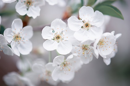Cherry spring flowers Stock Photo - 83499078