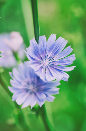 common blue: Chicory flower in nature