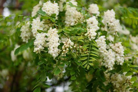 アカシアの白い花 写真素材