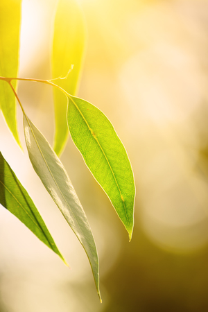 Eucalyptus green leaves