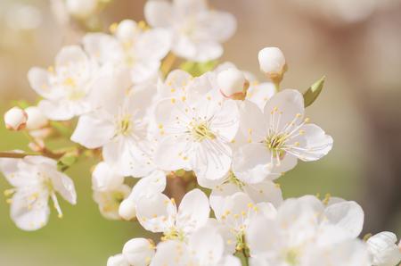 Apricot tree blossoms