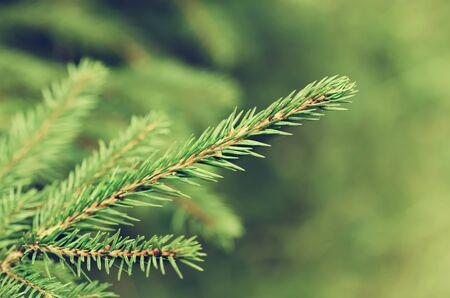 Pine tree branch 免版税图像