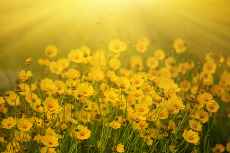 Rudbekia summer flowers