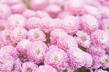 Chrysanthemum macro flowers 版權商用圖片