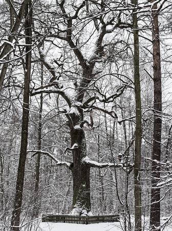Winter park with big oak tree Zdjęcie Seryjne