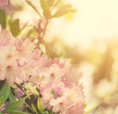 rhododendron maximum pink flowers stock photo picture and royalty