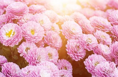 Chrysanthemum macro flowers Stock Photo