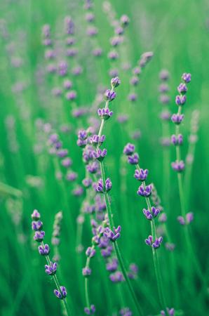 Lavender beautiful flowers