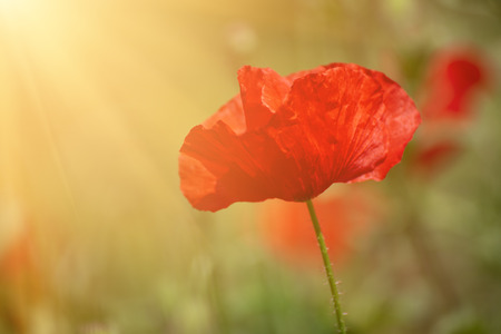 Red spring poppy Banque d'images