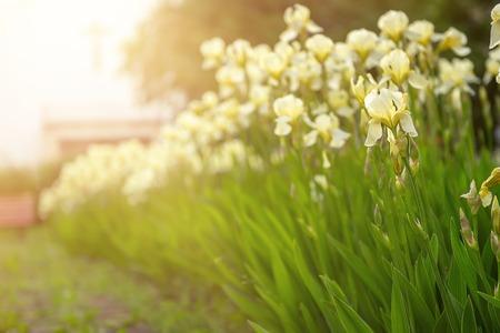 Iris flower blooming at church yard Banco de Imagens - 120981006