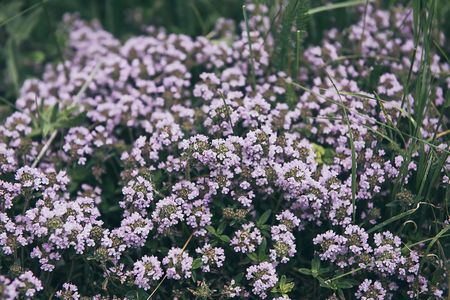 Thymus with flowers